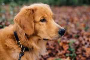 Hund zieht an der Leine - Warum